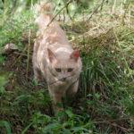 薄いトラ柄猫01